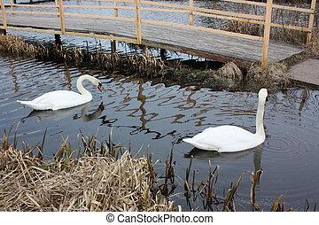 Two white swans swim on the pond