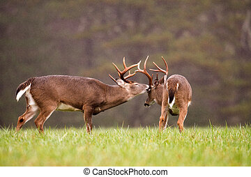 two white-tailed deer bucks grooming - Two large...