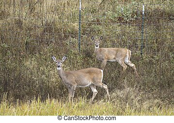 Two white tailed deer stare at the camera near Hauser Lake in north Idaho.