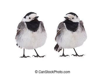 Two White Wagtail (Motacilla alba) isolated on a white ...