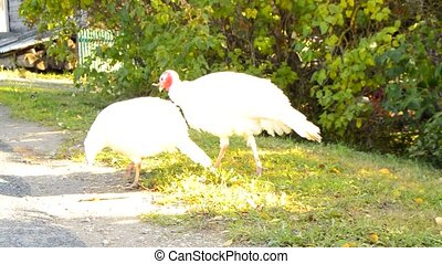 Two white young turkeys walking in the garden and pecking at...