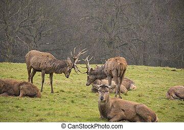 Two Whitetail Deer Bucks Fighting