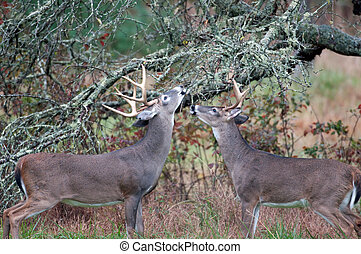 Two whitetailed deer bucks chewing on branches - Two...