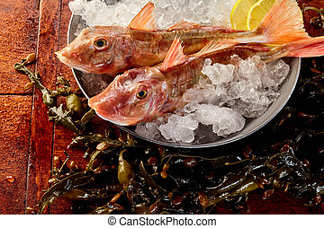 Two whole gurnard fish on ice in metal bucket - Close up on ...