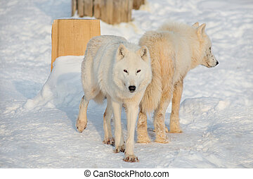 Two wild alaskan tundra wolves are playing on white snow. Canis lupus arctos. Polar wolf or white wolf.