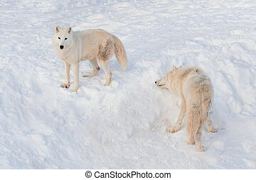 Two wild alaskan tundra wolves are playing on white snow. Polar wolf or white wolf.