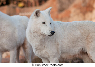 Two wild alaskan tundra wolves. Canis lupus arctos. Polar wolf or white wolf.