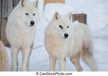 Two wild alaskan tundra wolves close up. Polar wolf or white wolf.