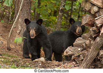two young wild black bears in the woods