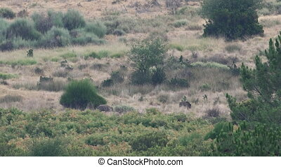 Two wild boar feeding in the bush - Long shot of two wild...