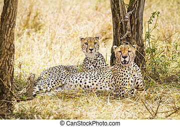 Two wild cheetah rests after meal in Serengeti