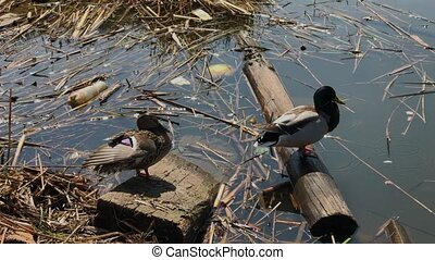 Two wild ducks on a dirty lake in the trash. - Two wild ...