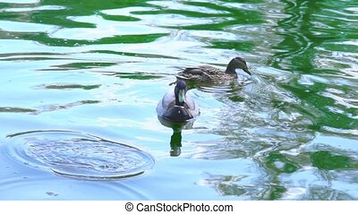 Two wild ducks swimming in a pond, slow motion