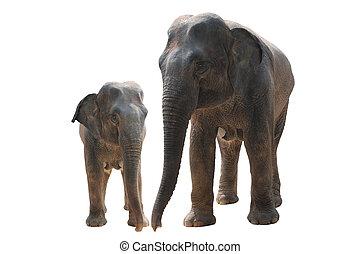 two wild elephant