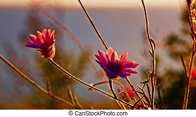 Two wild flowers of violet color fluttering in the wind...