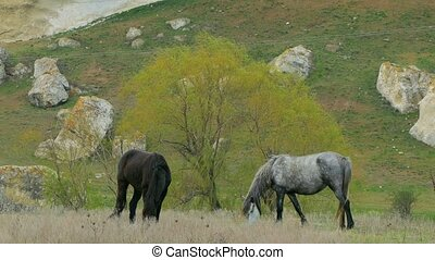 Two Wild Horses Grazing At Pasture