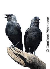 Two Wild Jackdaw - TwoWild Jackdaw - Corvus monedula on a...