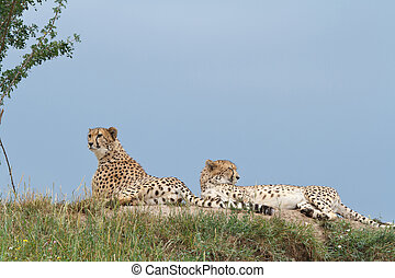 two wild leopard lying on the hill.