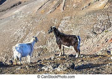 two wild mountain goats
