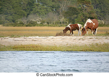 wild ponies - two wild ponies from the Virginia herd at...