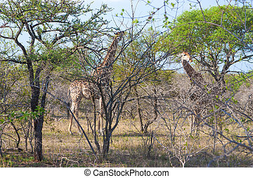Two Wild Reticulated Giraffe and African landscape in national Kruger Park in UAR, natural themed collection background, beautiful nature of South Africa, wildlife adventure and travel