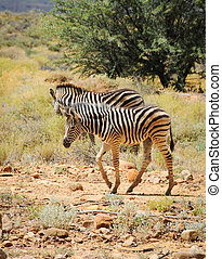 Two wild small zebras