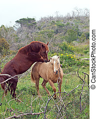 two wild stallions.  Israel -  two wild stallions. Israel