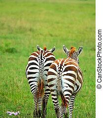 Two wild zebras
