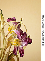 Two wilted tulips