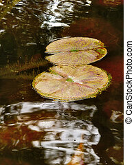 Two Winter Water lily Pads