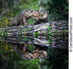 Two wolf pups at the water edge
