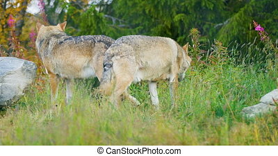 Two wolves in a wolf pack walking in the forest - Two wild...