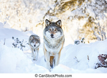 Two wolves in cold winter forest - Wolf pack standing in the...
