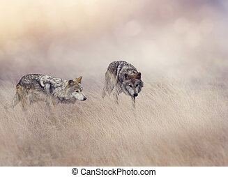 Two Wolves in Tall Grass