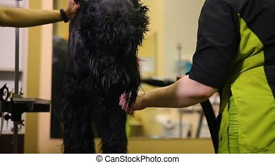 Two women professional grommers dry the dog with a hair...