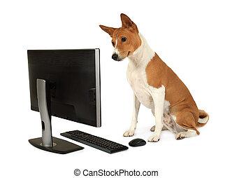 Basenji dog looks at a computer monitor
