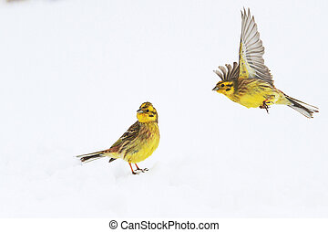 two yellow birds on snow bunting