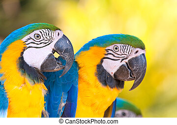 yellow blue macaws