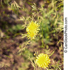 two yellow flowers in grass