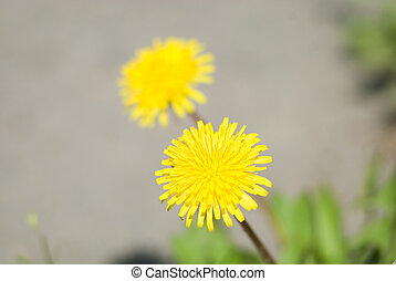 Two yellow flowers of a dandelion