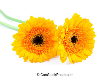 Two yellow Gerber flowers