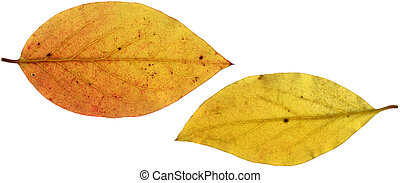 Two Yellow Leaves XXL - Two yellow autumn leaves, scanned...