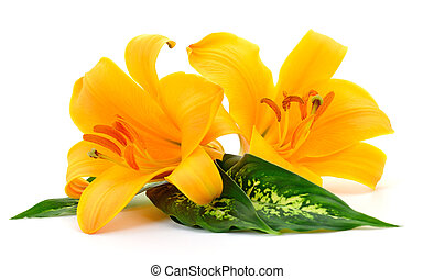 Two yellow lilies.