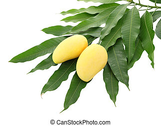 Two yellow mango and pile dirty leaf isolated on white background.