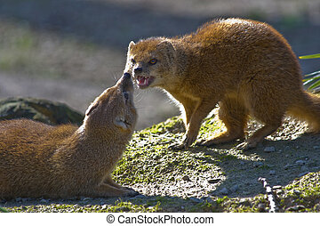 Two yellow mongoose getting angry and fighting
