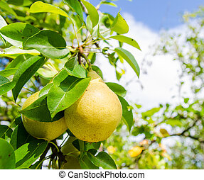 Two yellow pears on a branch with green leafs on the background