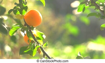 Two yellow plums on branch. Fruits under sunlight. Grown...
