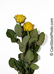 Two yellow roses on a white background