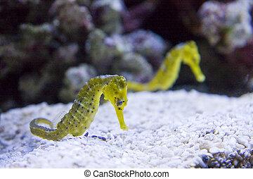 Two Yellow Seahorses