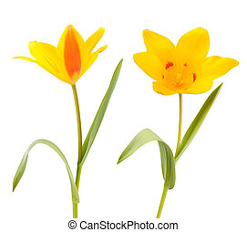 Two Yellow Tulip flowers